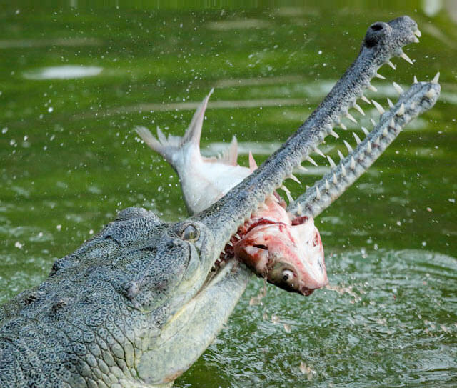 crocodile feeding on fish